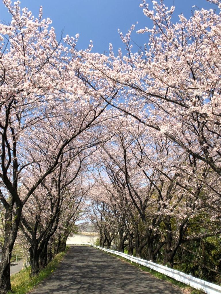 近所にこんな桜並木があるなんて、最高ですね♪ お花見の穴場です(^-^)